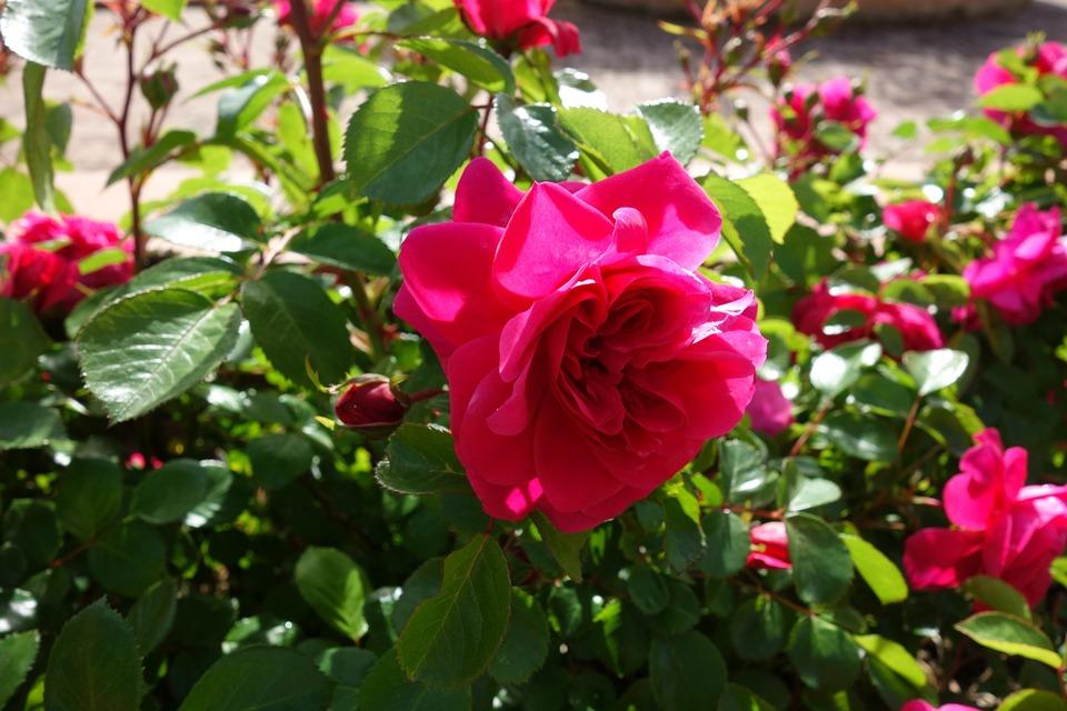 Rose, Flower, Pink, Nature, Plant, Garden