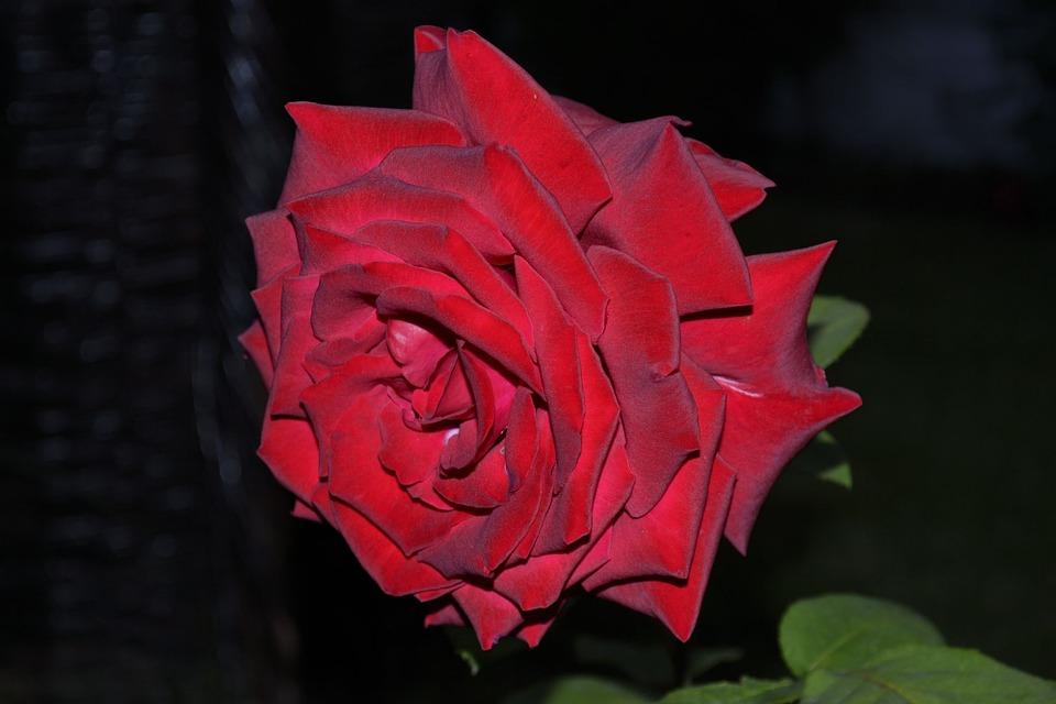 Rose, Garden, Spring, Red, Night