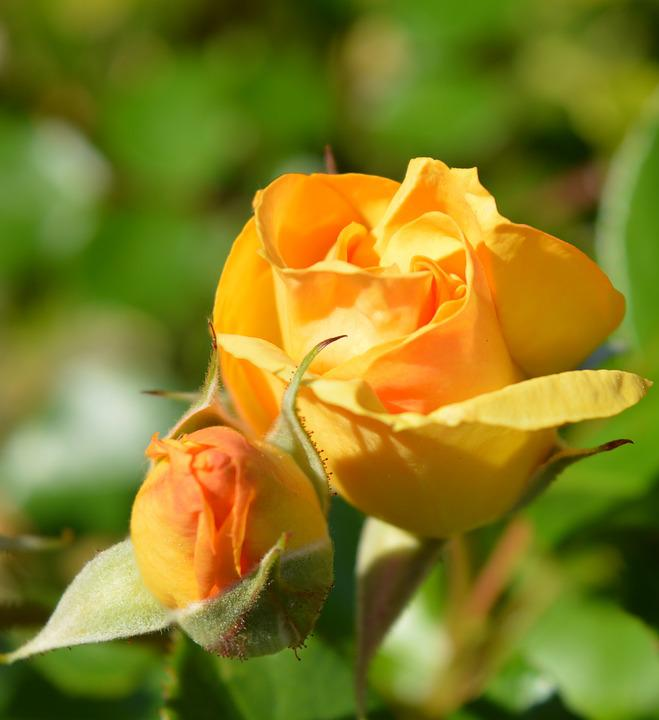 Roses, Yellow, Garden, Nature Flowers