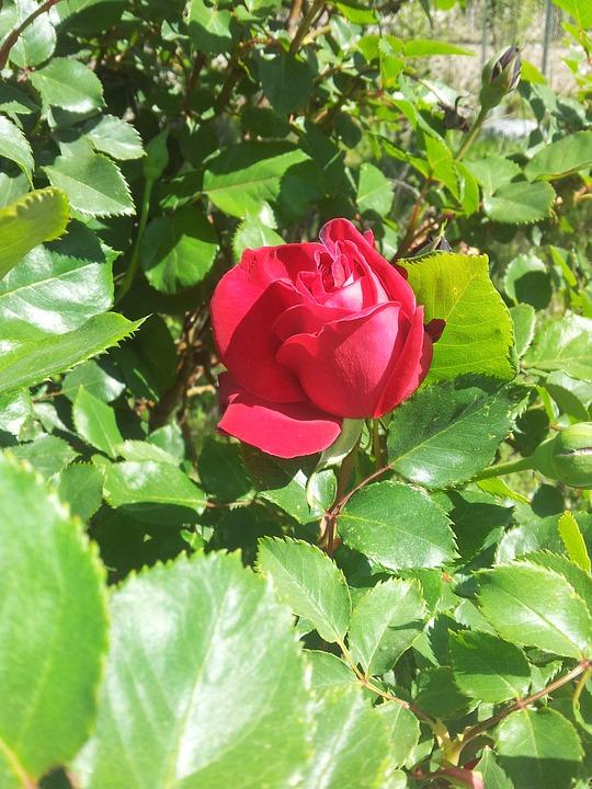 Red Rose, Roses, Flower, Garden