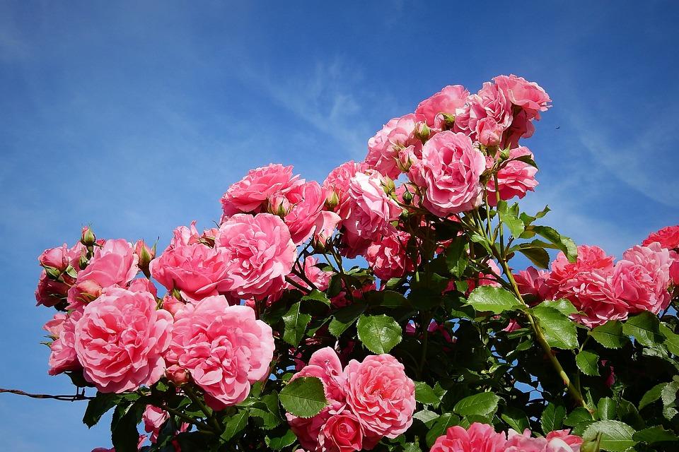 Roses, Garden, Flowers, Spring, Red, Romantic