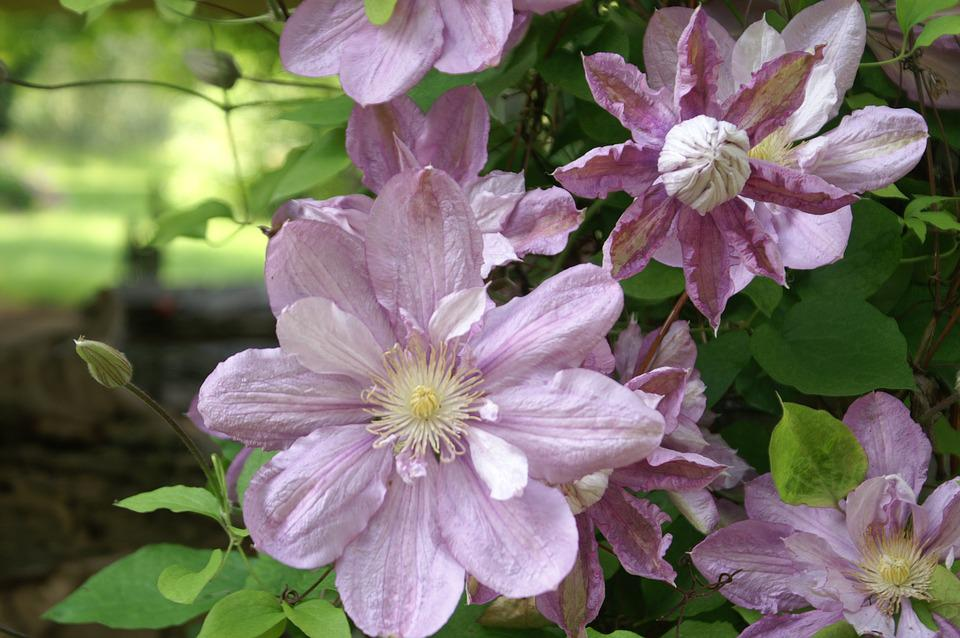 Flowers, Purple Flowers, Garden, Purple, Scots Purple