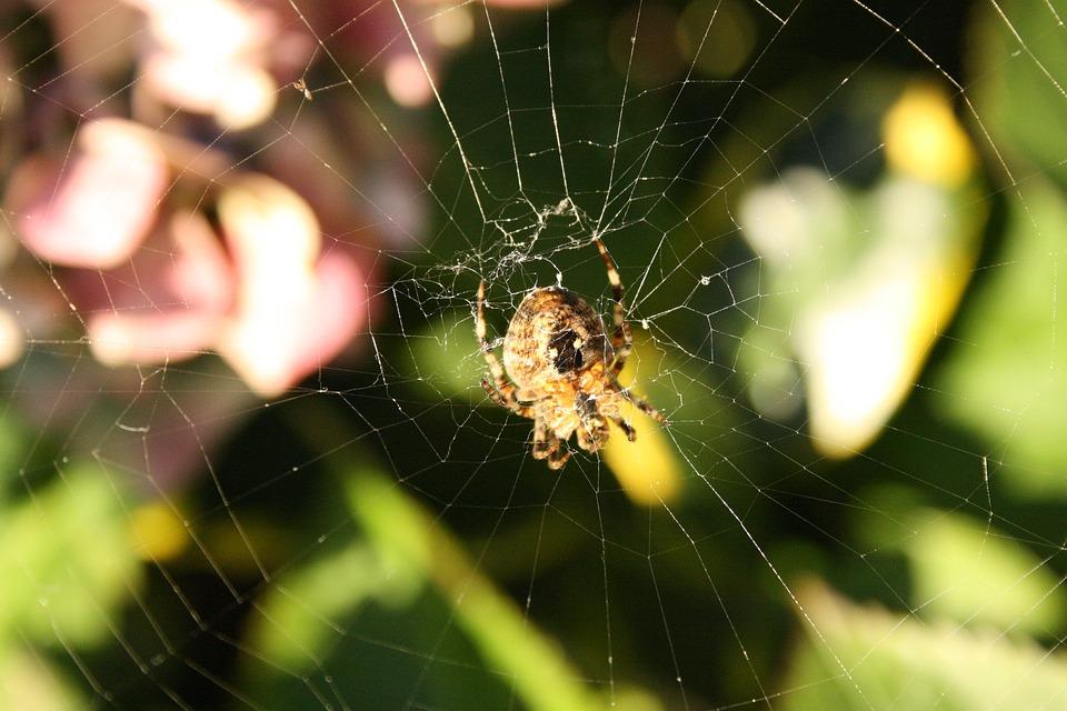 Spin, Garden Spider, Hydrangea