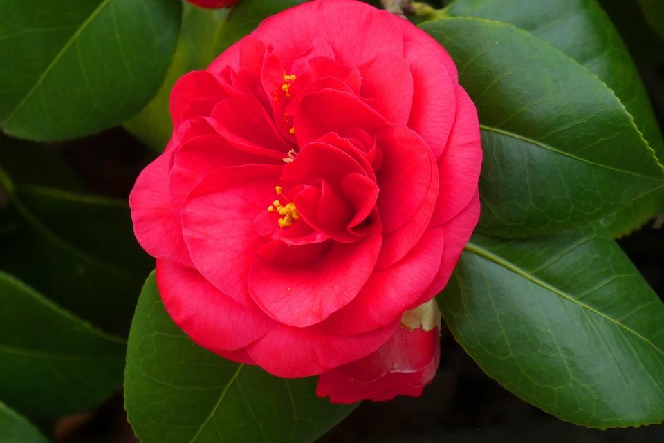 Free Photo Garden Spring Blossom Flower Camellia Bloom Max Pixel