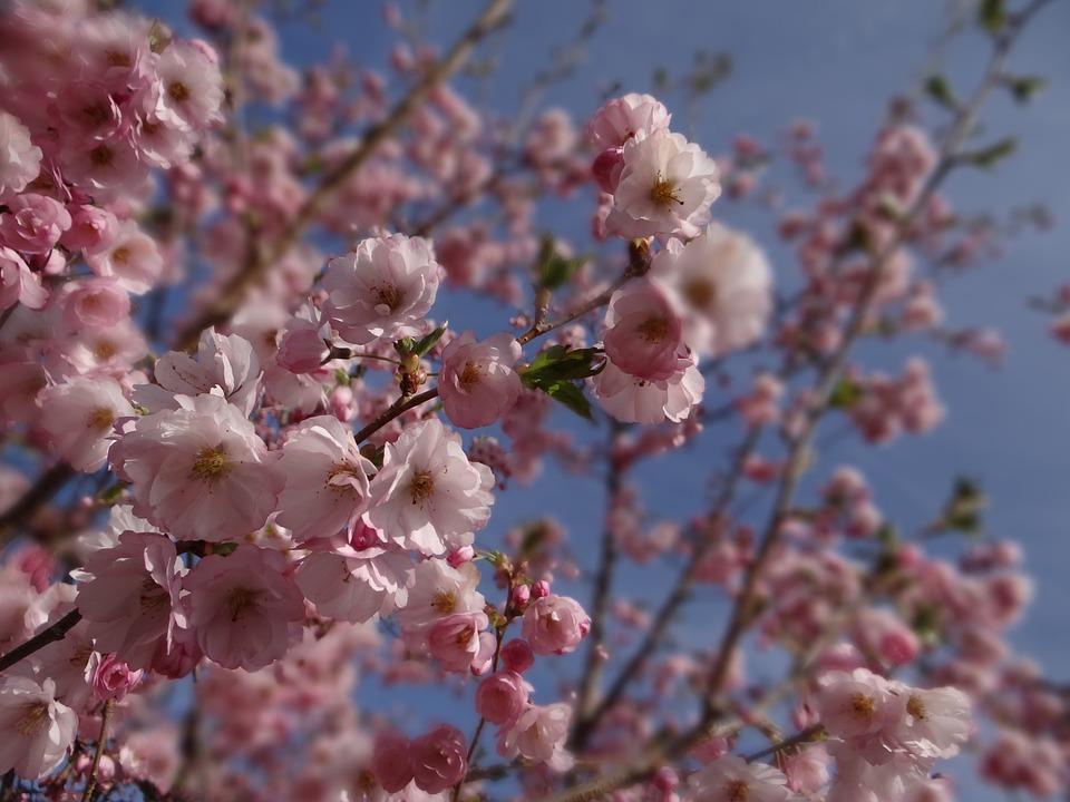 Spring, Ornamental Cherry, Garden, Tree, Cherry Blossom