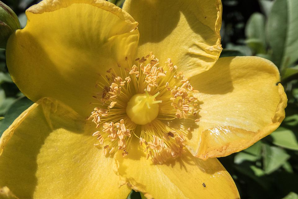 Flower, Yellow, Stamens, Pollen, Garden, Bee, Spring