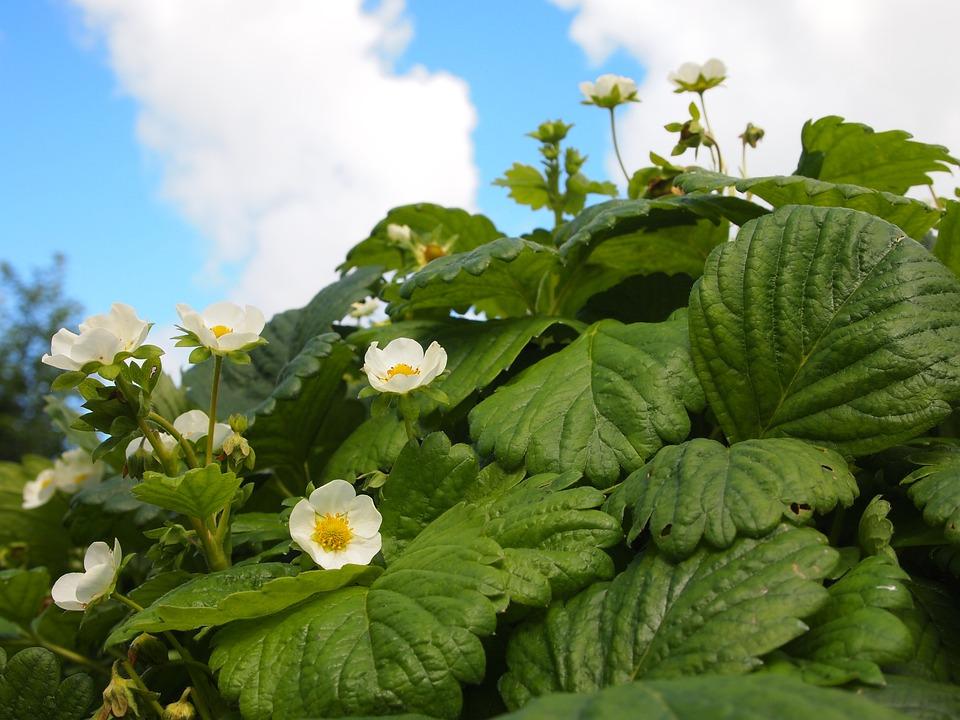 Flowers, Garden, Strawberry