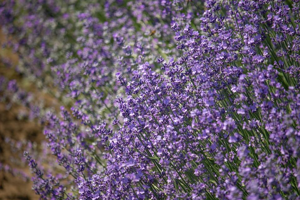 Blooming Lavender, Summer, Purple, Garden
