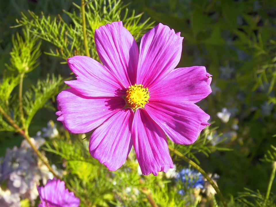 Cosmos, Pink, Bright, Garden, Petal, Summer, Fresh
