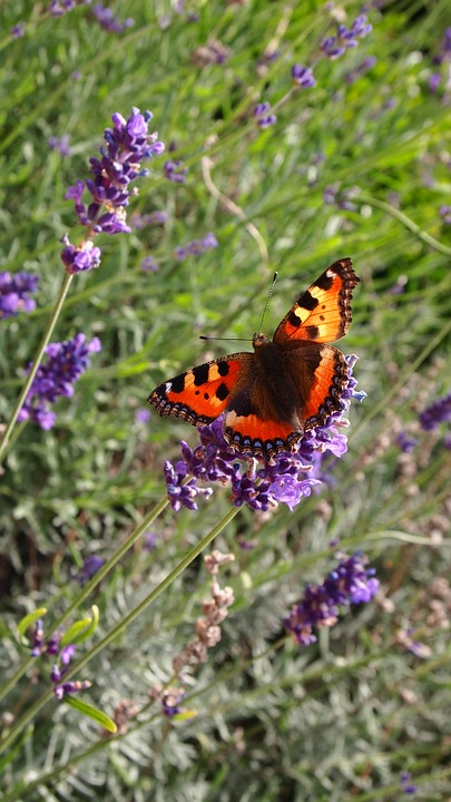 Butterfly, Lavender, Garden, Summer, Close Up, Wings