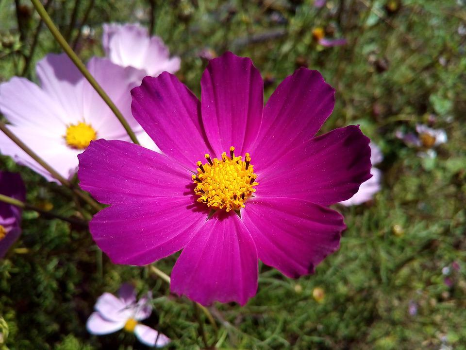 Cosmos, Flower, Astrov, Garden, Plant, Bright, Summer