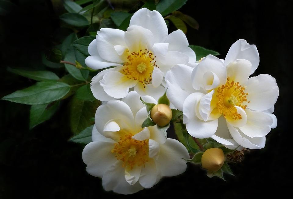 Flower, Flora, Nature, Garden, Summer