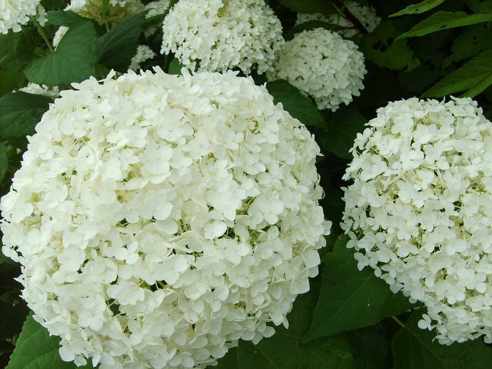 Hydrangea, White Flower, Summer, Romantic, Garden