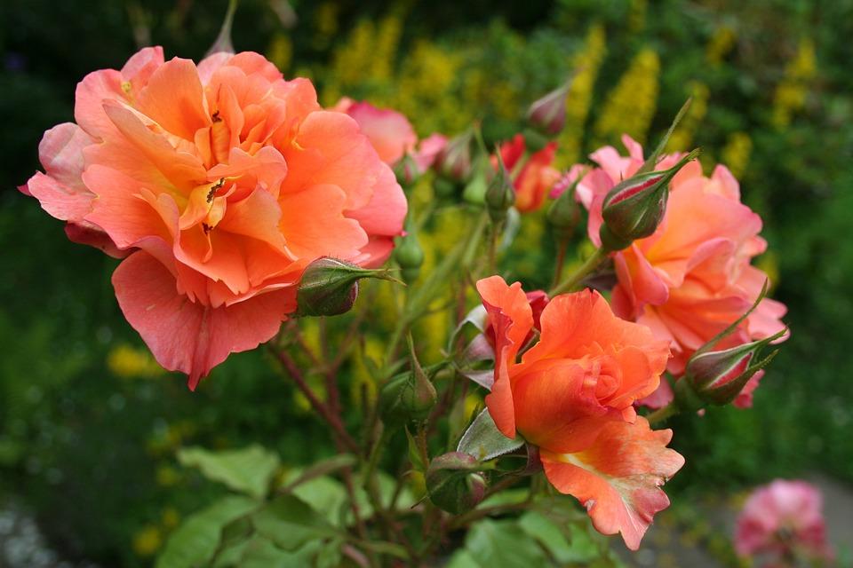 Rose, Blossom, Bloom, Summer, Nature, Garden