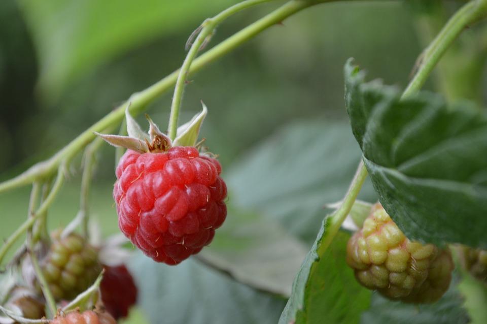 Raspberries, Bush, Red, Berry, Garden, Plant, Summer