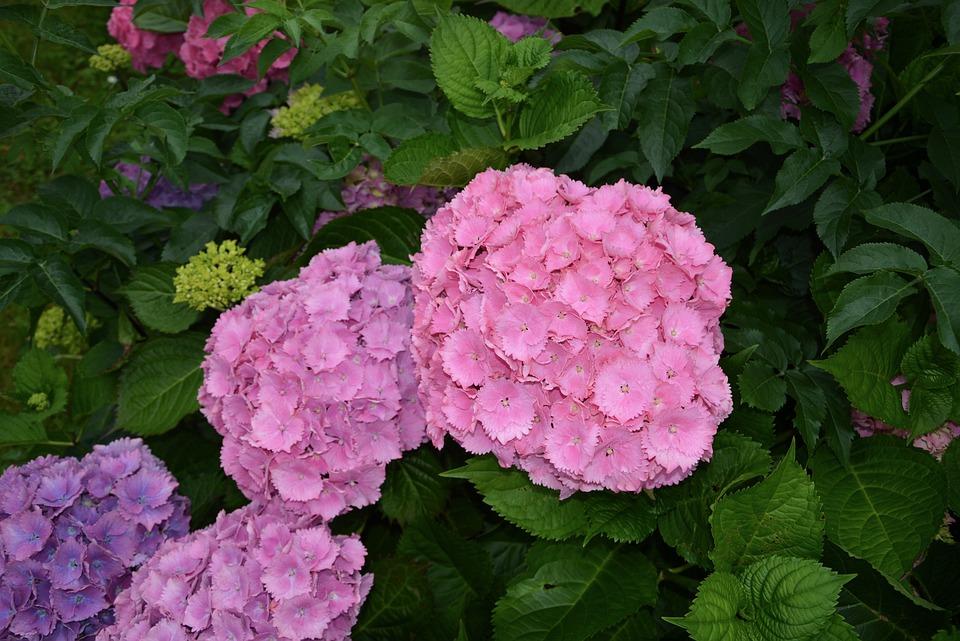 Hydrangea, Flower, Violet, Pink, Summer, Nature, Garden