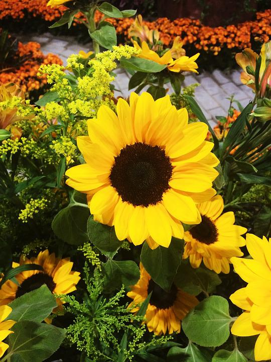 Sunflower, Flower, Garden