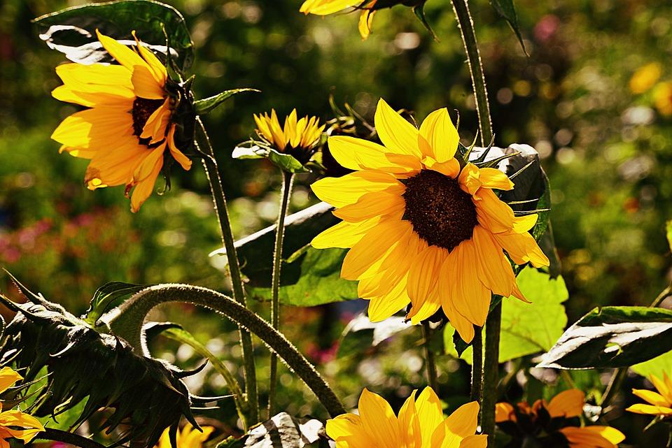 Sunflower, Helianthus, Flower, Plant, Nature, Garden