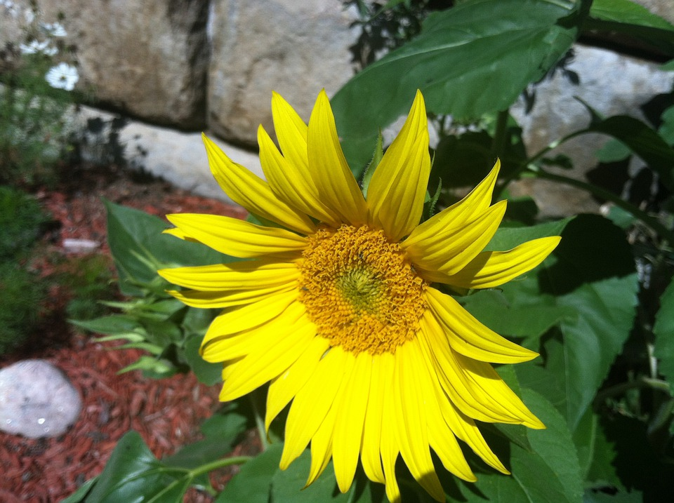 Sunflower, Yellow, Nature, Flower, Plant, Garden