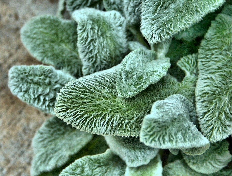 Lambs Ear, Texture, Fuzzy, Plant, Garden, Ground Cover