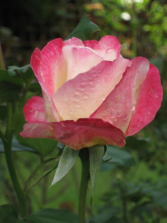 Rose, Pink, Thailand, Garden, Flower, Bloom, Blossom