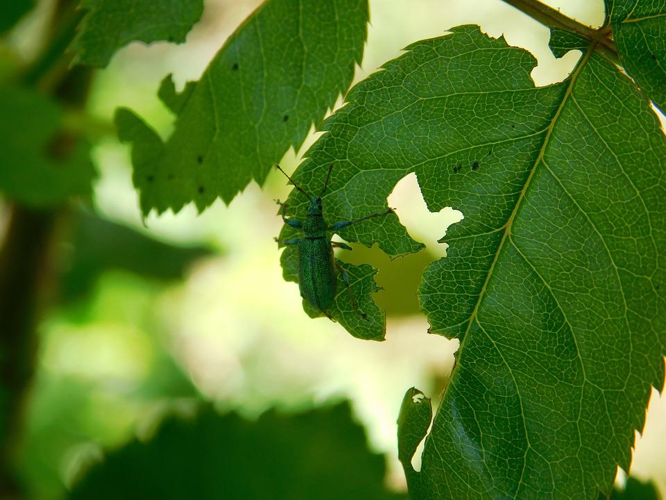 Insect, Leaf, Tree, The Beetle, Garden, Summer, Green
