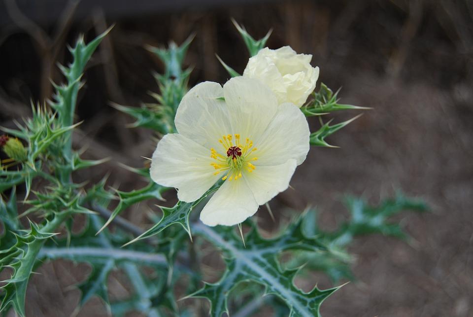 Flower, Thorns, Garden, Prickly, Thistle, Bloom