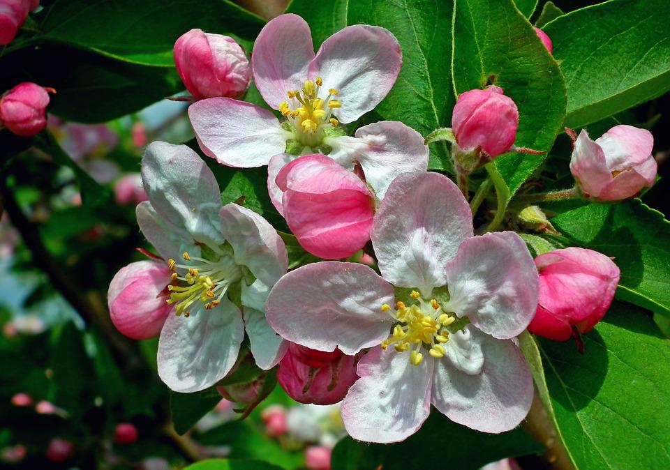 Flower, Apple, Nature, Garden, Branch, Tree