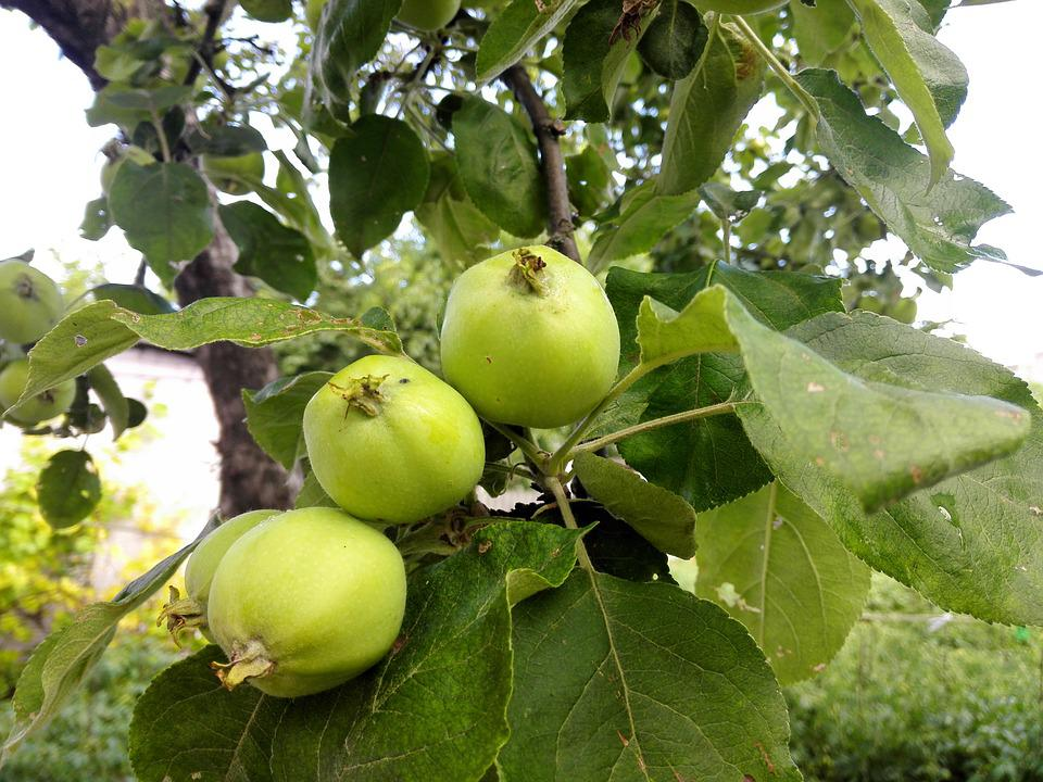 Free photo Garden Tree Green Apple Apple Tree Apples Summer - Max Pixel