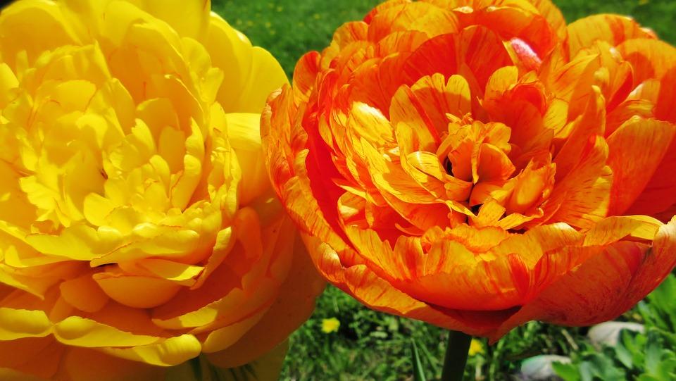 Tulip, Flower, Nature, Flora, Garden, Bright, Spring