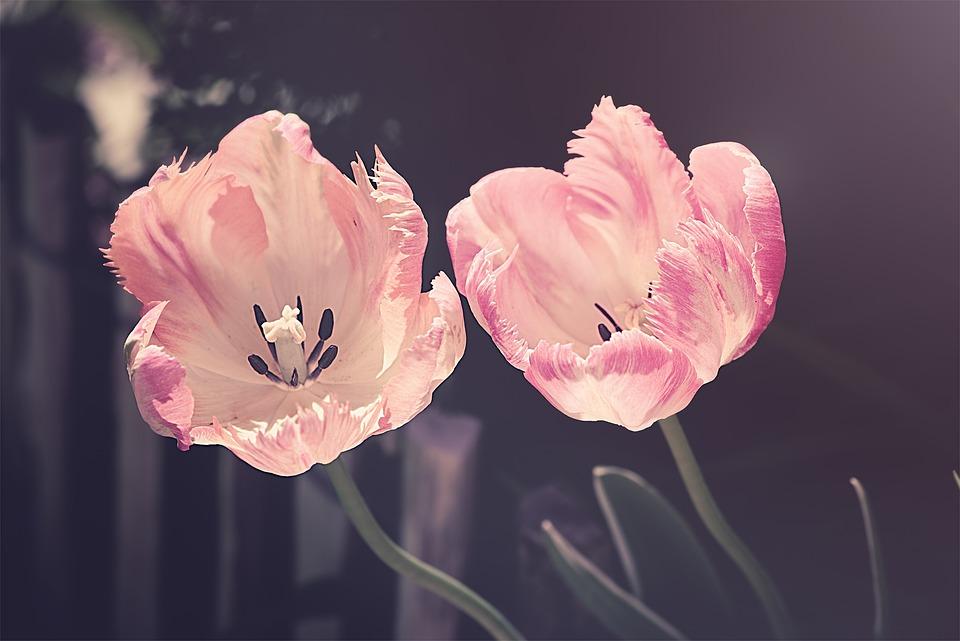 Tulips, Garden, Garden Flowers, Flower, Nature, Plant