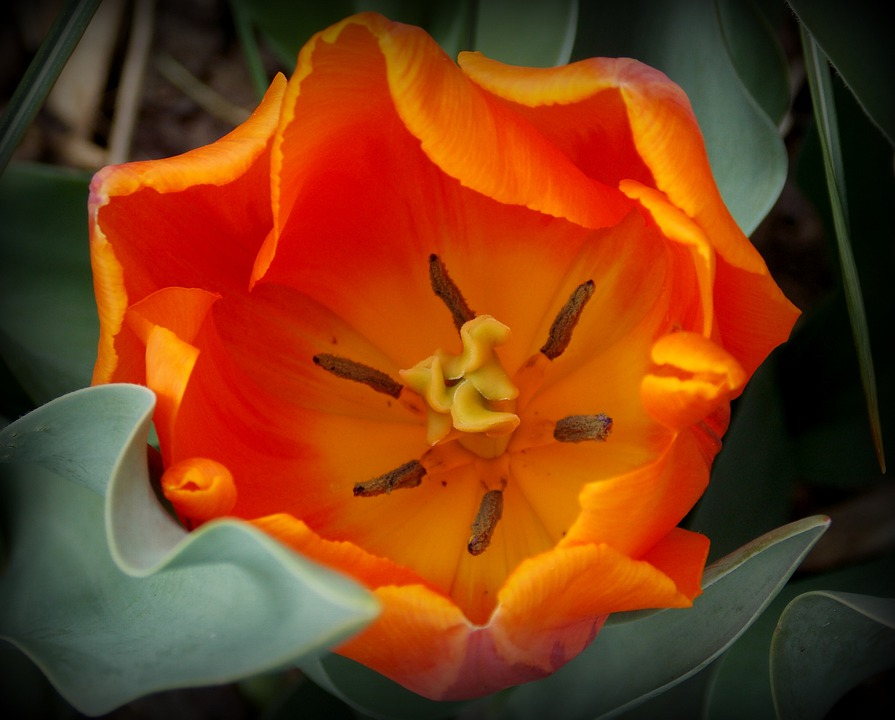 Tulips, Spring, Spring Flowers, Orange, Garden