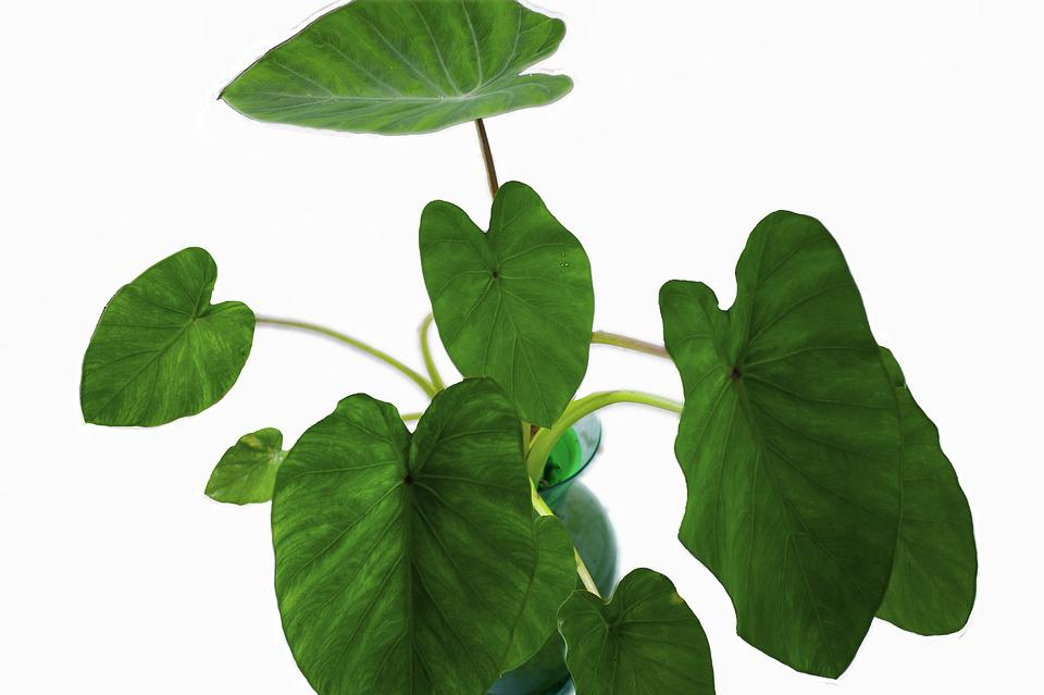 Free photo Garden Vase Plant Elephant Ears Green Leaf - Max Pixel