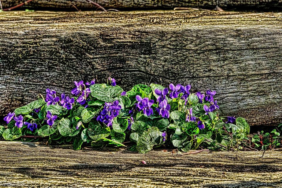 Flower, Violet, Garden, Plant, Nature