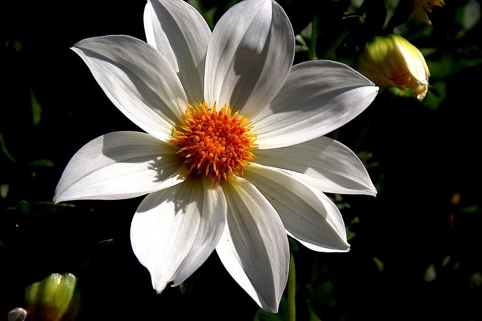 Dahlia, White Flower, White Dahlia, Garden