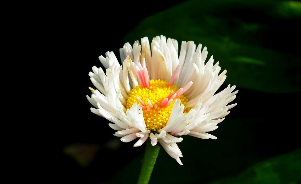 Daisy, Flower, Summer, Garden, Nature, White