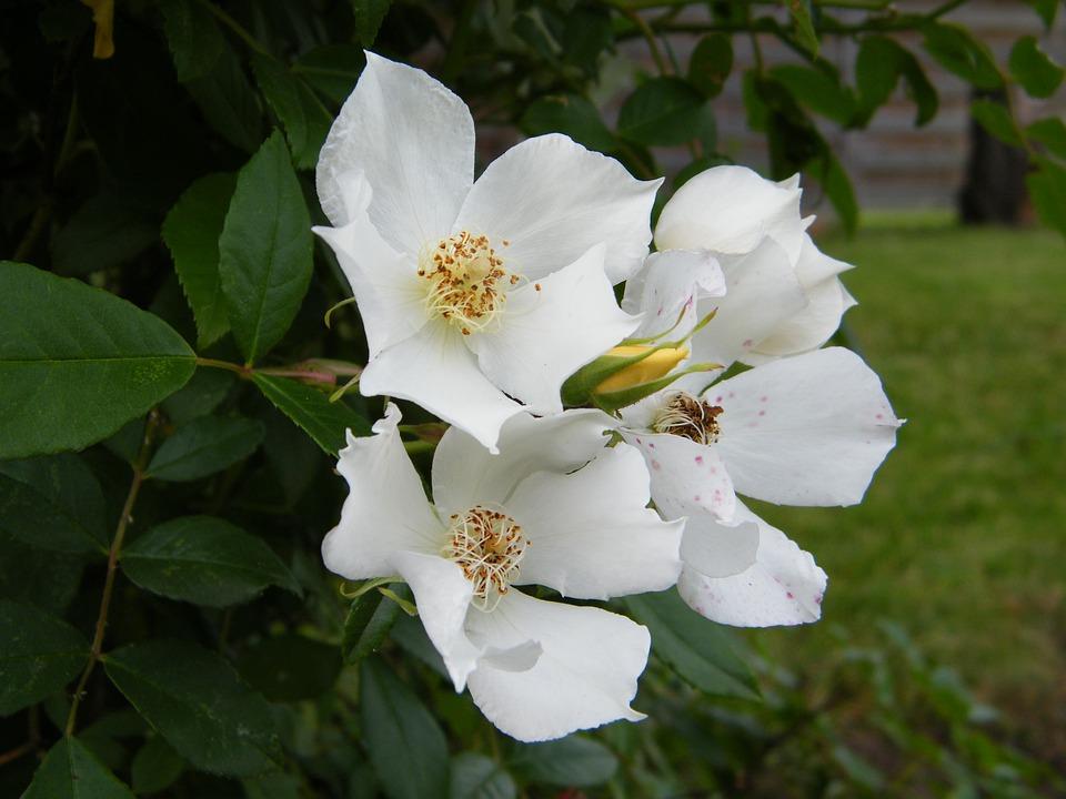 Garden, White Flowers, Tree, Summer Flowers, White