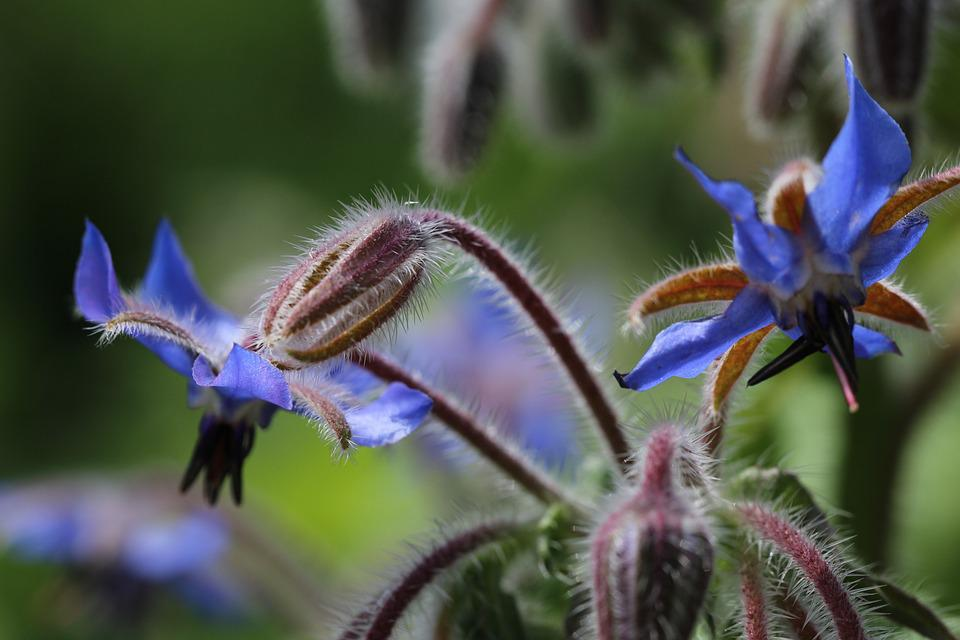 Borage, Wild Flower, Garden