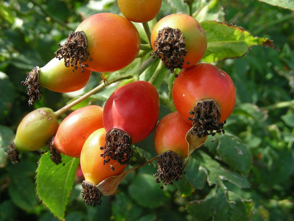 Rose Hip, Plant, Garden, Wild Rose, Red Fruit, Berries