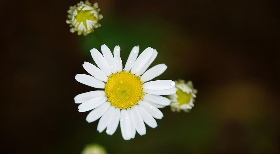 Garden, Flower, Petals, Daisy, Wildflower, White Flower