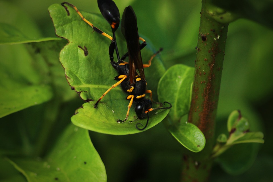 Wasp, Insect, Garden, Animals, Wing, Hornet, Sting