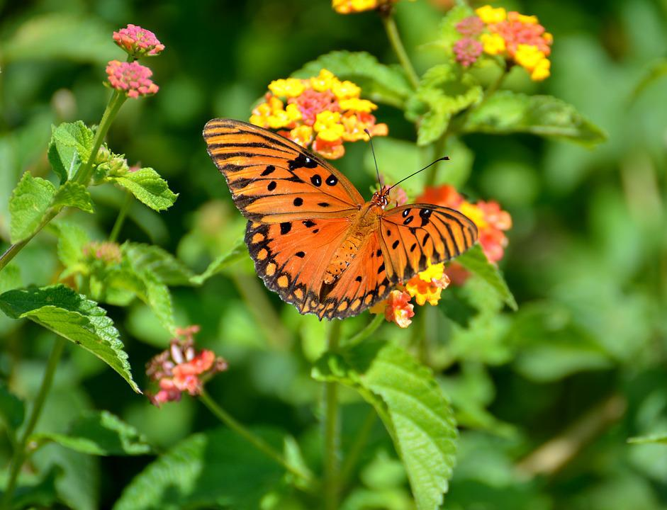 Butterfly, Insect, Colorful, Wings, Orange, Garden