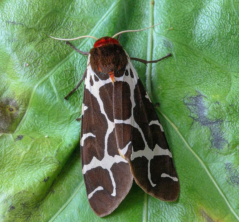 Moth, Garden-tiger, Wings, Garden, Insect, Nature