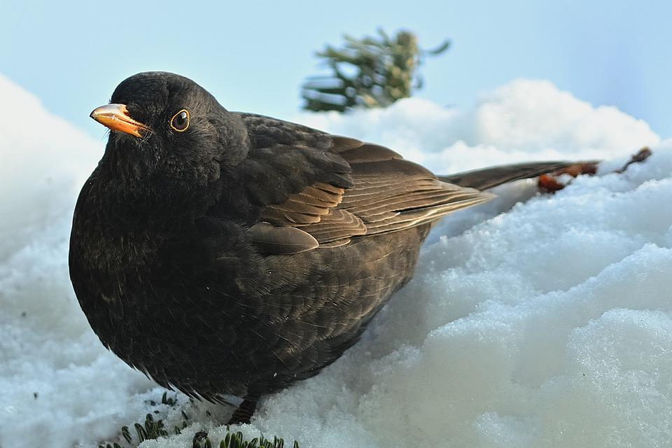 Blackbird, Winter, Garden, Wintry, Bird Watching