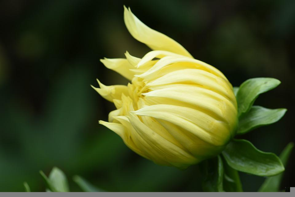 Dahlia, Yellow, Flower, Garden