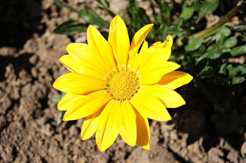 Flower, Yellow, Nature, Plant, Garden, Closeup, Summer