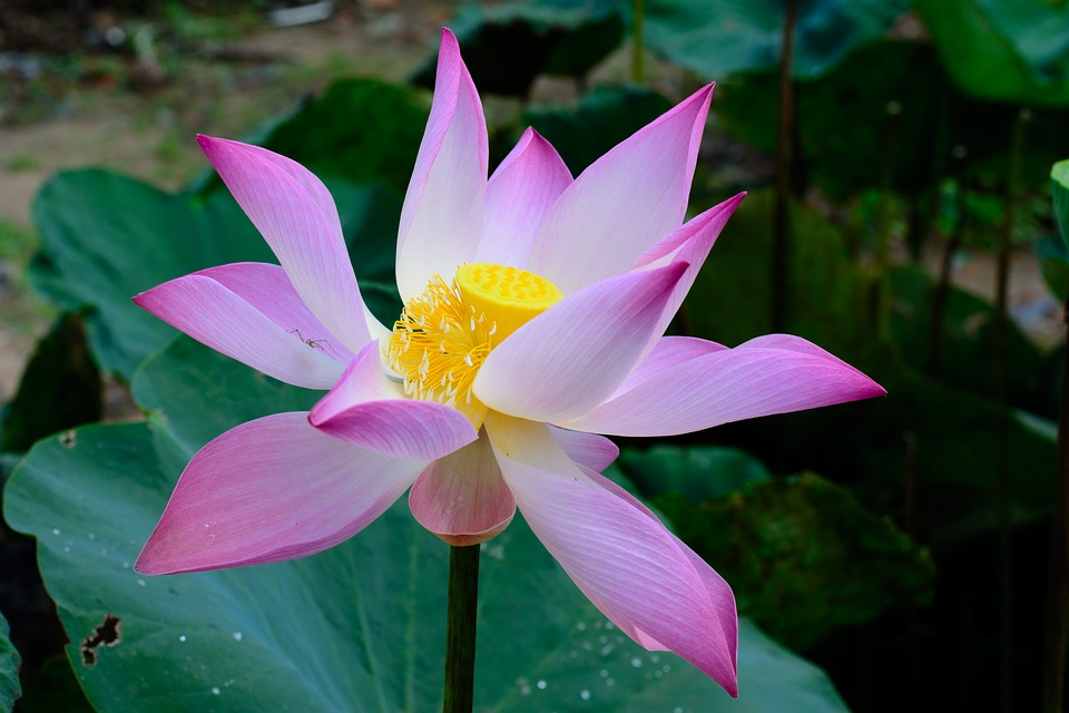 Flower, Pink, Green, Garden, Nature, Yellow, Lotus