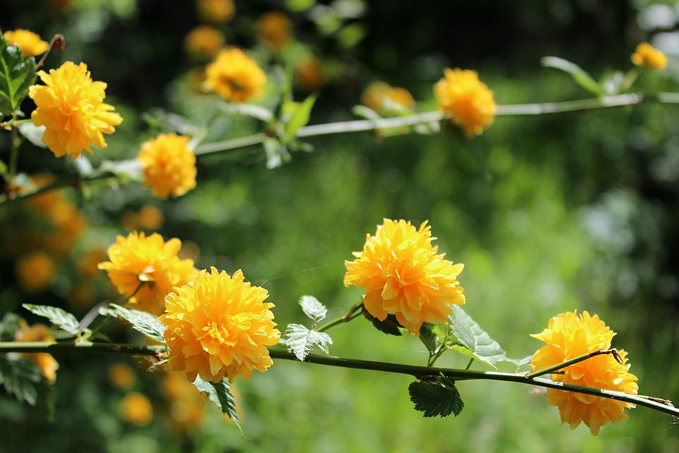 Yellow Flowers, Garden