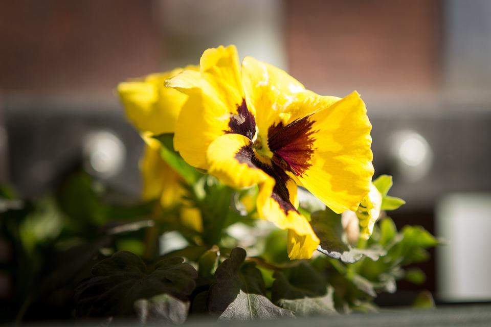 Viola Tricolor, Garden, Pets, Yellow, Summer, Spring