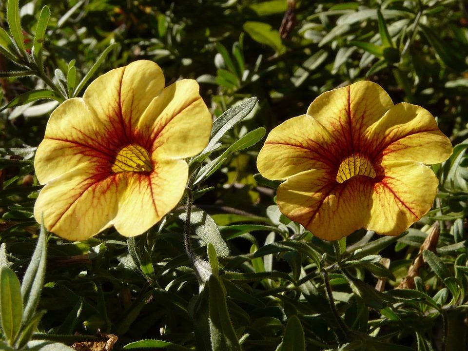 Petunia, Gardening, Flower, Yellow, Garden